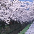 Cherry Blossoms line the Philosopher's Path in Kyoto